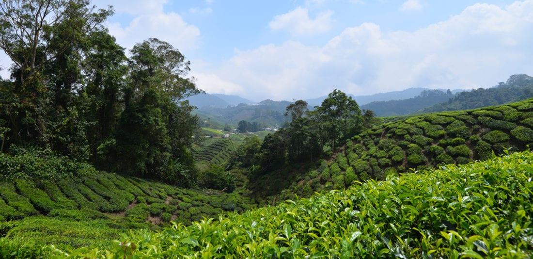 SURVIVAL ASIA TRIP: Камерон Хайлендс, малайзийские Альпы с чайным ароматом